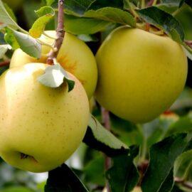 Măr Mutsu