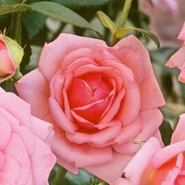 Trandafir Polyantha roz PROMO