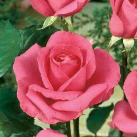 Trandafir Teahybrid roz PROMO
