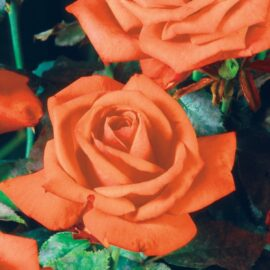 Trandafir Teahybrid portocaliu PROMO