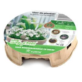 Tavă biodegradabilă cu  cala și ceapă ornamentală