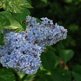 Liliac Aucubaefolia