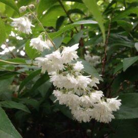 Deutzia scabra Candidissima