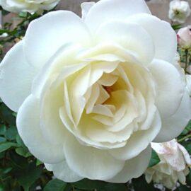 Trandafir polyantha Crystal