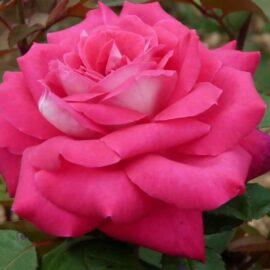 """Trandafir nobil la 2L """"Acapella"""""""