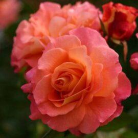 """Trandafir la ghiveci 2L """"Augusta Luise"""""""
