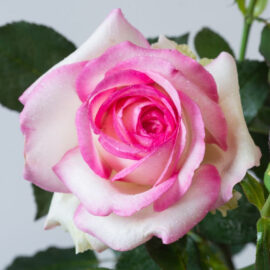"Trandafir nobil la ghiveci 2 L ""Biedermeier"""