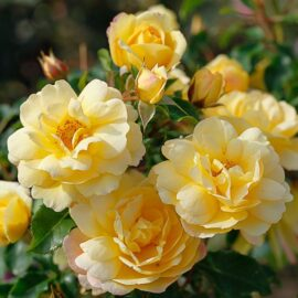 """Trandafir nobil la ghiveci 2L """"Candela"""""""