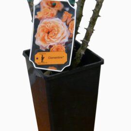 """Trandafir nobil la ghiveci 2 L """"Heidi Klum"""""""