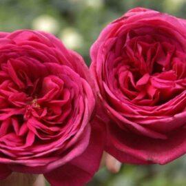 """Trandafir nobil la ghiveci 2L """"Goethe"""""""
