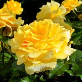 """Trandafir nobil la ghiveci 2L """"Inka"""""""