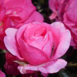 """Trandafir nobil la ghiveci 2 L """"Mirato"""""""