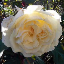 """Trandafir nobil la ghiveci 2L """"My girl"""""""