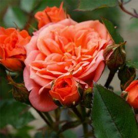 """Trandafir nobil la ghiveci 2L """"Ninetta"""""""