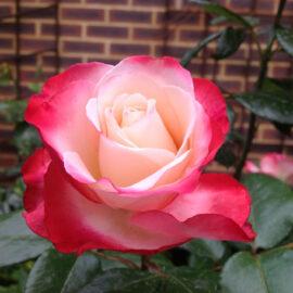 """Trandafir nobil la ghiveci 2 L """"Nostalgie"""""""