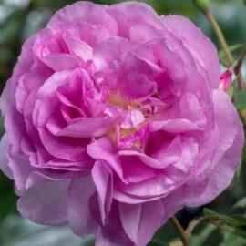 "Trandafir nobil la ghiveci 2L ""Saphir"""