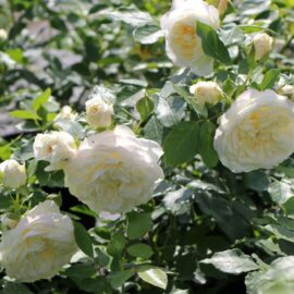 "Trandafir nobil la ghiveci 2L ""Friedenslicht"""