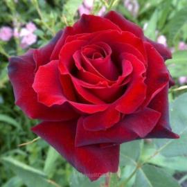 "Trandafir nobil la ghiveci 2L ""Barkarole"""