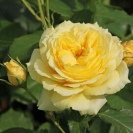 "Trandafir la ghiveci 4L ""China girl®"""