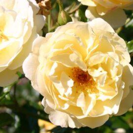 """Trandafir la ghiveci 4L """"Sonnenschirm®"""""""