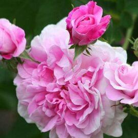 "Trandafir la ghiveci 4L ""Romina®"""