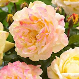 "Trandafir la ghiveci 4L ""Lampion®"""